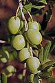 Olives (MOUFLA) CL1. J Weber (2) (23122198116).jpg