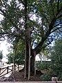 Olmos Centenarios de Cabeza del Buey 02.jpg