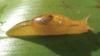 a crawling orange land snail
