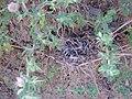 Ononis pendula subsp. boissieri Habito 2010-6-17 DehesaBoyaldePuertollano.jpg