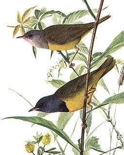 Mourning warbler species of bird