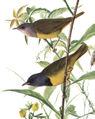 Oporornis philadelphiaAAP100CB1.jpg