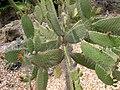 Opuntia (Consolea spinosissima) corallicola.jpg