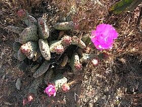 Opuntia basilaris var. brachyclada.jpg