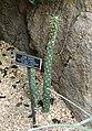 Opuntia cylindrica - Brooklyn Botanic Garden - Brooklyn, NY - DSC08050.JPG