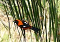 Orange-backed Troupial (Icterus croconotus) (28557678726).jpg