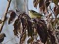 Orange-crowned Warbler (31796182028).jpg