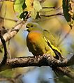 Orange Brested green pigeon David Raju (cropped).jpg