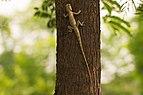 Oriental Garden Lizard in Patiala.jpg