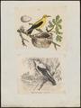 Oriolus galbula - 1700-1880 - Print - Iconographia Zoologica - Special Collections University of Amsterdam - UBA01 IZ16400165.tif