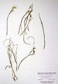 Ornithogalum umbellatum BW-1979-0529-0412.jpg