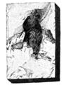 Ornitholithe de Montmartre - Fortis 1800.png