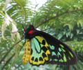 Ornithoptera euphorion male closed.jpg