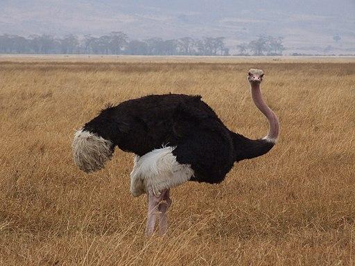 Ostrich Ngorongoro 05