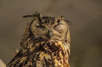 Owl in the Delhi Zoo.jpg