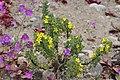 Oxalis gigantea Desierto Florido 2011 Frerina 03.jpg