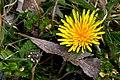 Paardebloem - Taraxacum officinale (26040322152).jpg