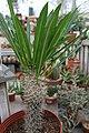 Pachypodium lamerei 4zz.jpg