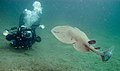 Pacific Electric Ray (torpedo californica).jpg