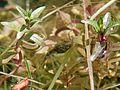 Pacific Tree Frog Tadpoles (Pseudacris regilla) - Flickr - GregTheBusker (2).jpg