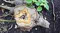 Pagoda Dogwood stump (36467261144).jpg