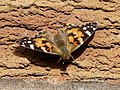 Painted Lady Butterfly (4528702577).jpg