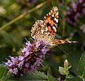 Painted Lady Vanessa cardui Front 1772px.jpg