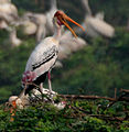 Painted Stork (Mycteria leucocephala) in Uppalpadu, AP W IMG 3449.jpg