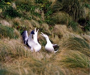 Seabird breeding behavior - A pair of southern royal albatross at their breeding colony on Campbell Island, New Zealand