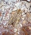 Pale Pinion (39604680520).jpg