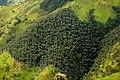 Palma de cerca del Quindío (Ceroxylon quiniduense) - Vía a Toche - Flickr - Alejandro Bayer.jpg