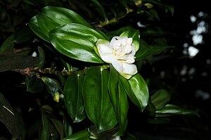 Freycinetia - Freycinetia cf. elliptica (cultivated), Palmengarten, Frankfurt am Main, Hessen, Deutschland