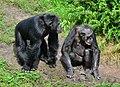 Pan troglodytes - Serengeti-Park Hodenhagen 20.jpg