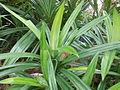 Pandanus amaryllifolius Malaysia.jpg