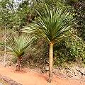 Pandanus utilis at Itiquira Falls.jpg