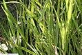 Panicum virgatum Shenandoah 1zz.jpg