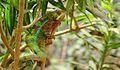 Panther chameleon (Furcifer pardalis) at Hagenbeck Zoo III.jpg
