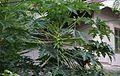 Papaya (16152016990).jpg