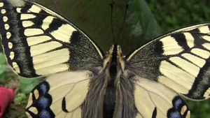 File:Papilio Machaon.ogv