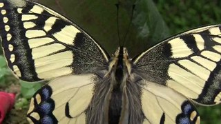 Fichier:Papilio Machaon.ogv