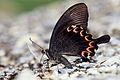 Papilio hermosanus 20130706.jpg