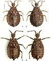 Paralibiocoris heissi (10.3897-zookeys.789.26165) Figures 1–4.jpg