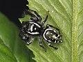 Paraphidippus aurantius male 02.jpg