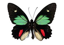 Parides Childrenae.JPG