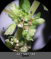 Parietaria officinalis sl31.jpg