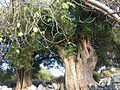 Park of the ancient olive trees in place Lun.jpg