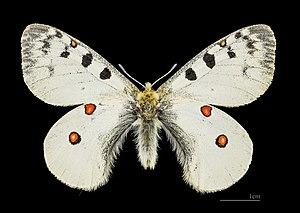 Parnassius phoebus - Image: Parnassius phoebus MHNT CUT 2013 3 6 Cervières (Hautes Alpes) male dos