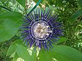 Passiflora 'Soi Fah' (Rakhi flower) at VUDA park 1.jpg