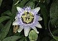 Passiflora caerulea NBG 2 LR.jpg