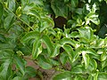 Passiflora edulis (4745461990).jpg